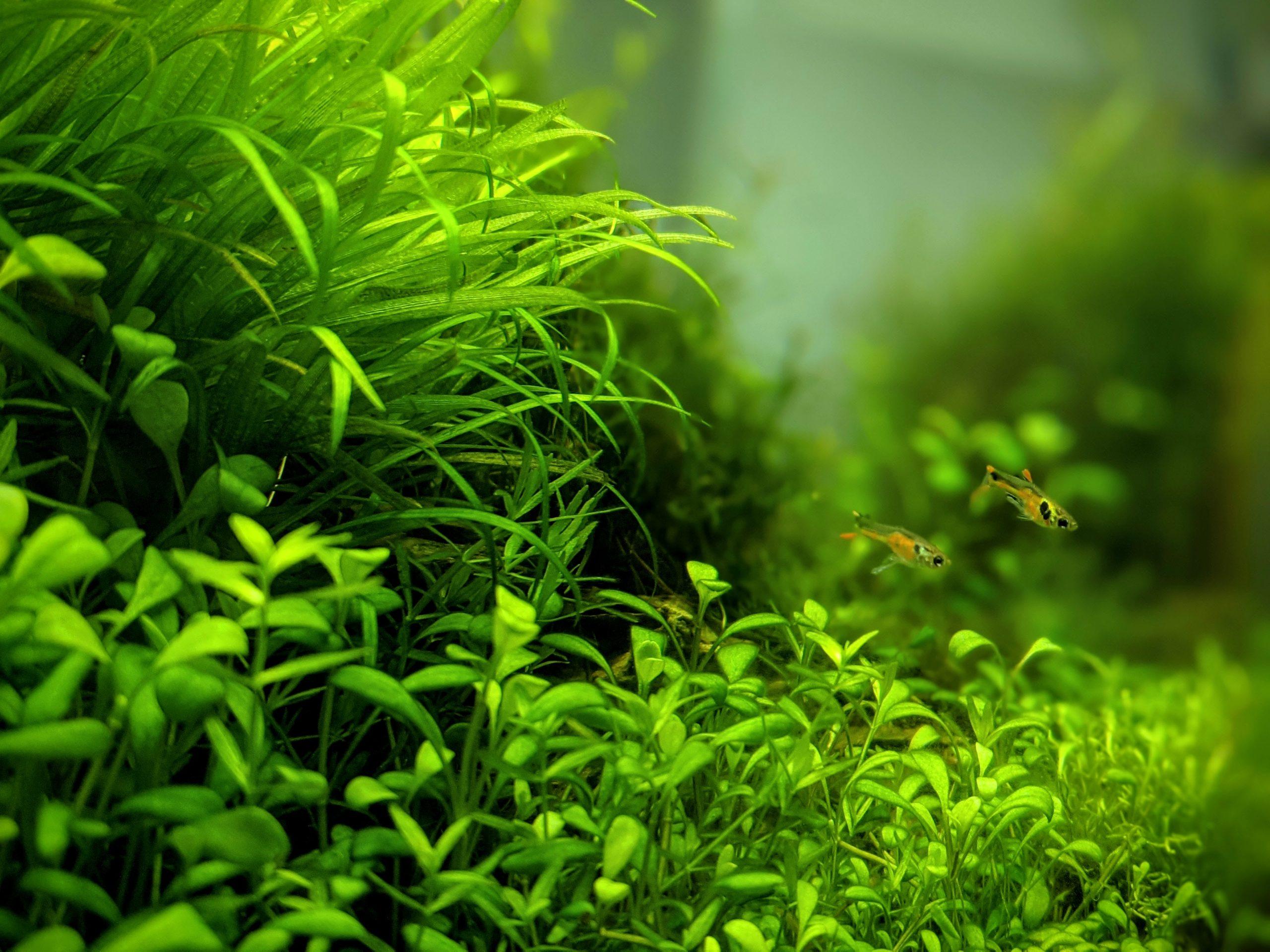 スティグマ グロッソ これから水草を植える人は読んでおきたい!グロッソスティグマの導入・育成方法